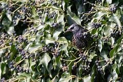 Etourneau sansonnet - Sturnus vulgaris - Starling
