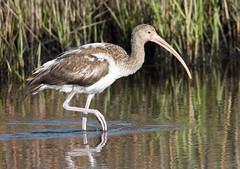 ibis bird - Merritt Island National Wildlife Refuge  Florida