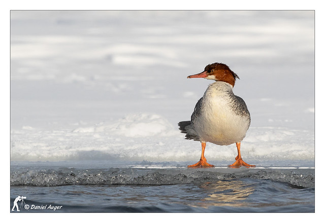 Grand Harle / Common Merganser, Canon EOS 7D MARK II, Canon EF 500mm f/4L IS