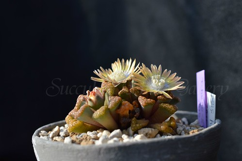 aDSC_2732 Titanopsis hugo-schlechteri チタノプシス ヒュゴシュレクテリ