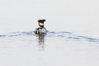 Crested Grebe | by Paul Marfell