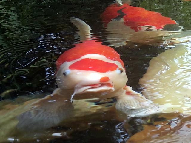 Foto 7 Na de behandeling Er zal in dit geval een lidteken overblijven maar de vis is weer volledig hersteld