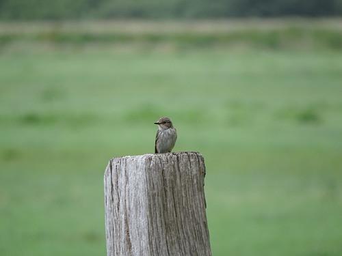 Grauwe Vliegenvanger | Spotted Flycatcher (Muscicapa striata) | Noordlaren nl
