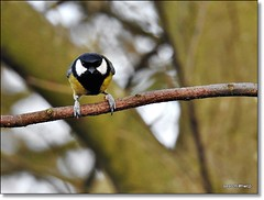 Poised on Perch. Parus major.