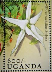 Ancistrochilus stylosa