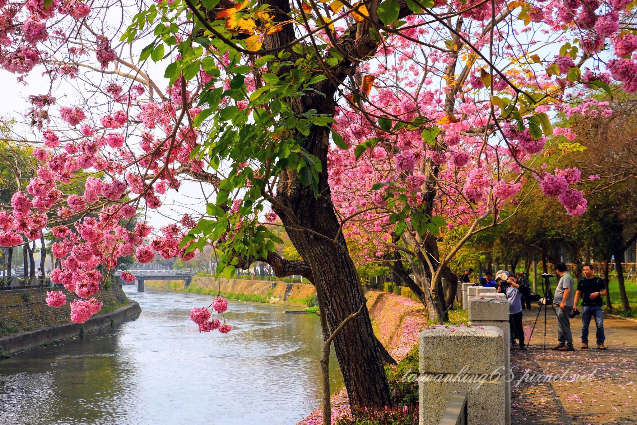 台中市西屯區環河路的洋紅風鈴木