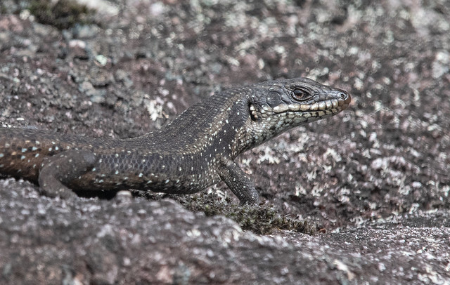 Southwestern Crevice Skink Hallowell 24Mar19 (15) res