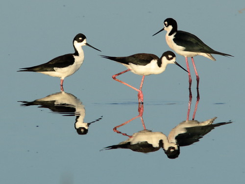 Black-necked Stilts 008-20190401