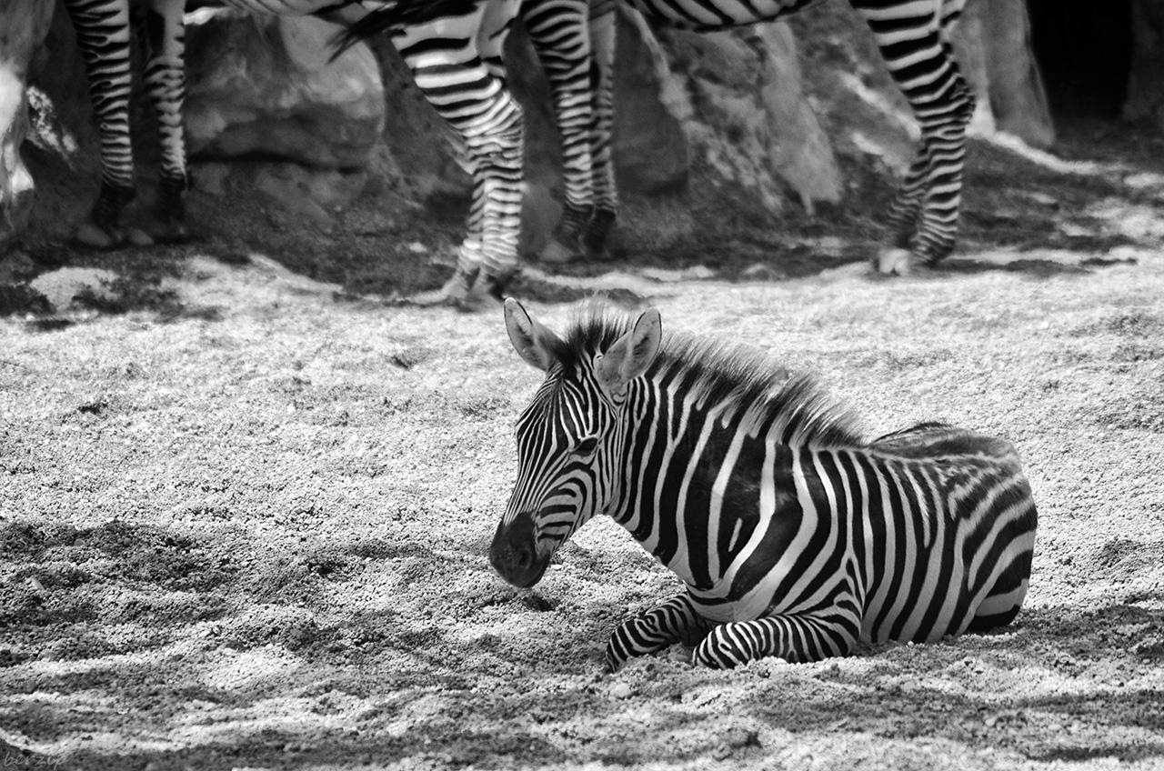 Zoos / Parcs animaliers - Page 27 32095826467_966ec850de_o