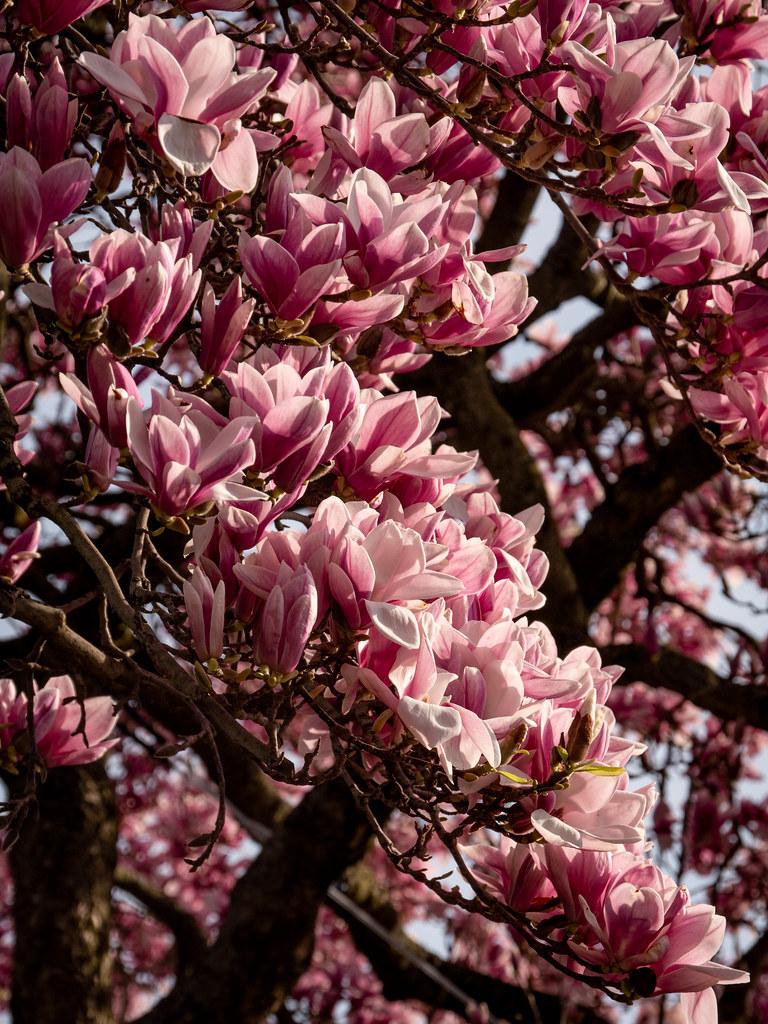 Magnolias... 32512606787_f2c0c84c23_b