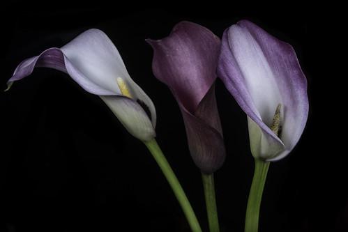 The Calla Lily Trio In The Light