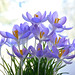 My Crocus Are Blooming by Don Briggs