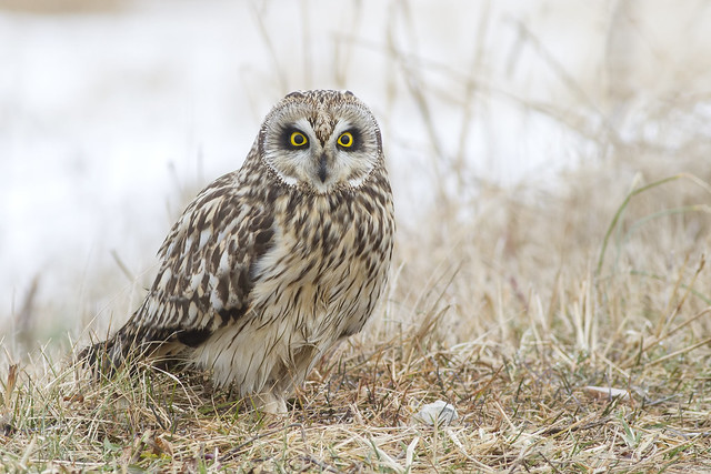 Short-eared Owl, Canon EOS 7D, Canon EF 400mm f/5.6L