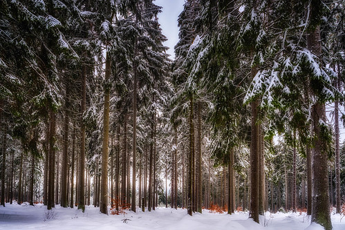 Spruces - Upper Franconia, Germany