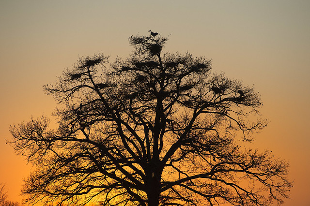 L'albero degli aironi - The tree of the Herons