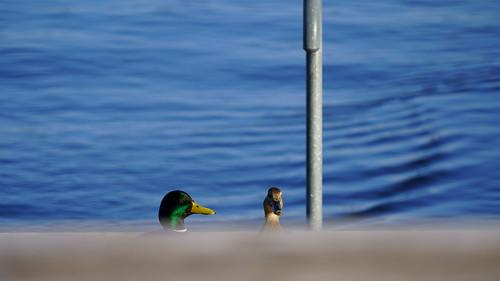 Creepin' Ducks