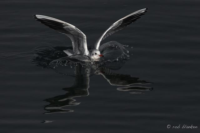 Gull (2), Nikon D850, AF-S VR Zoom-Nikkor 200-400mm f/4G IF-ED II
