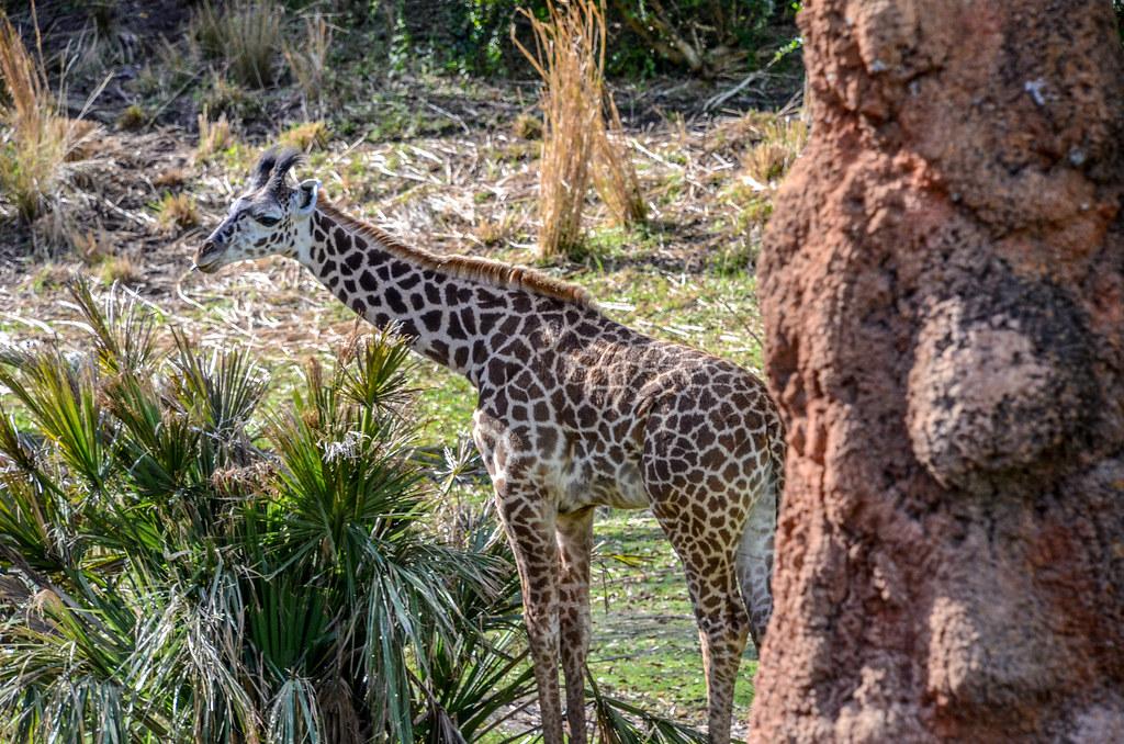Baby giraffe Safari AK