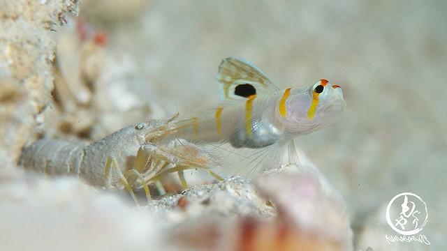 生存確認。テッポウエビと同じサイズになってたニチリンダテハゼ幼魚ちゃん♪