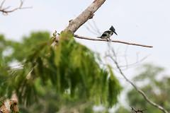 Martim-pescador-verde
