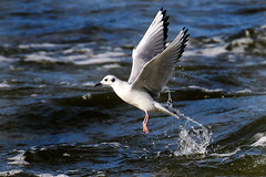 Bonaparte's Gull emerging from water....6O3A9242A