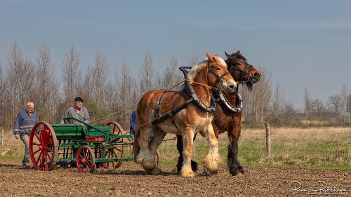 Traditional sowing with Workhorses