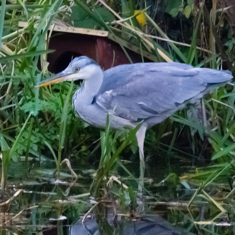 Young heron catching fish, Wildside Centre