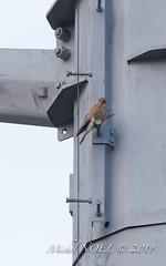Faucon crécerelle Falco - tinnunculus - Common Kestrel : Michel NOËL © 2019-8478.jpg