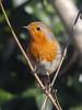 Robin ( Erithacus rubecula ) )