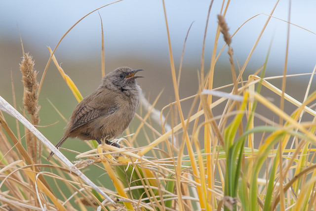 Cobb's Wren: A Falkland Islands endemic
