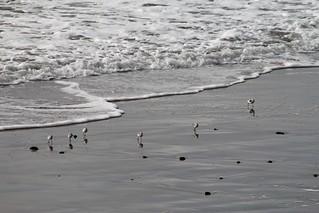 Sandpipers on Solana Beach