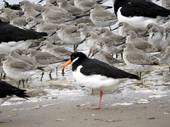 Oystercatcher and Knot