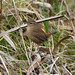 Wren at Chesworth Farm, Horsham