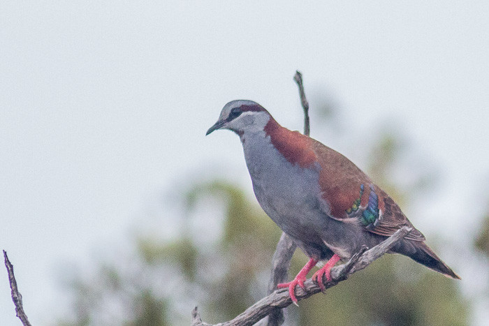 Brush Bronzewing - adult male