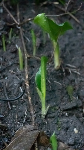 Signs of spring: wild garlic emerging