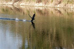 Grand Cormoran - Phalacrocorax carbo - Great Cormorant - Photo of Pondaurat
