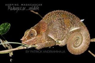 Peltier's chameleon (Calumma peltierorum) - 368471637226334-01