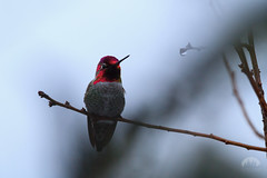 Christmas Hummingbird