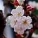 Japanese Apricot (Plum Blossom) : 白梅