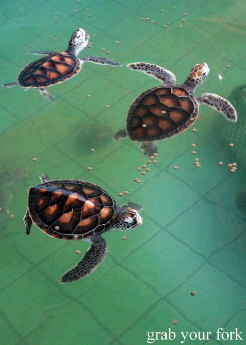 Young turtles at the Sea Turtle Conservation Centre in Khao Lak, Thailand