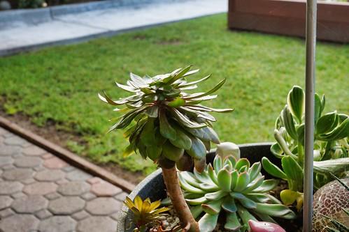2019-01-30 - Nature Photography - Succulent - Aeonium (tree houseleek)