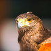 Harris Hawk by Thomas Hawk