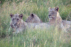 South African Safari lions in the wild 1