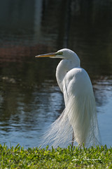 Snowy Egret - River Club - Bradenton Florida