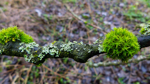 Moss and lichen on gnarly twig