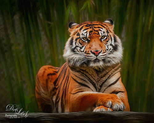 Image of a Tigress at the Jacksonville Zoo