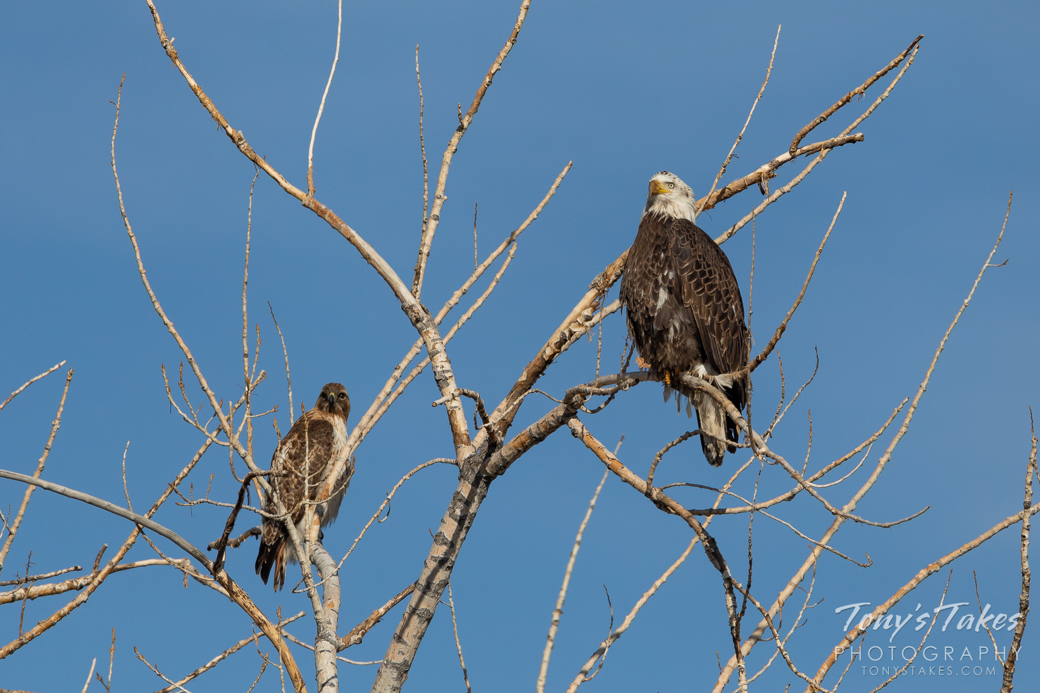 A red tailed hawk and a bald eagle hang out along the South Platte River. (© Tony's Takes)