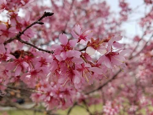 Woodridge Blossoming