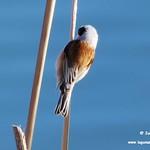 Pájaros moscones. Lagunas de La Guardia (Toledo) 17-2-2019