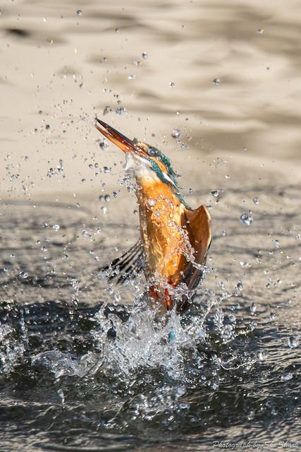 20190223-kingfisher-DSC_1522
